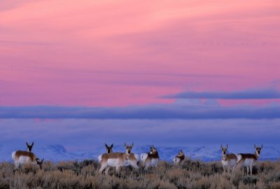 Photo: Pronghorn antelope near Pinedale, WY.