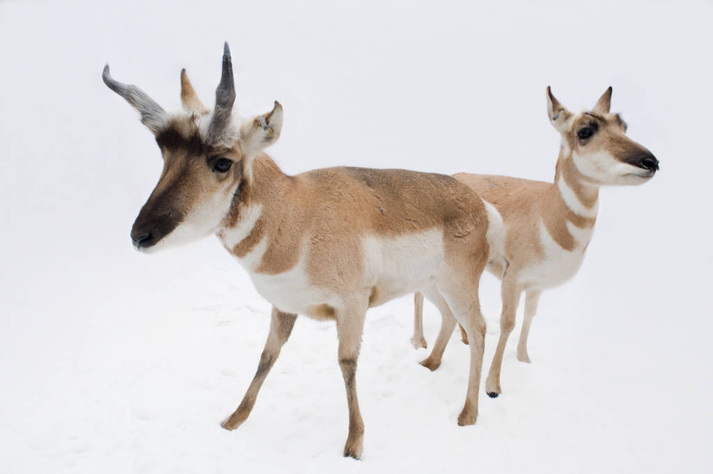 Pronghorn antelope (Antilocapra americana americana) at the Great Plains Zoo.