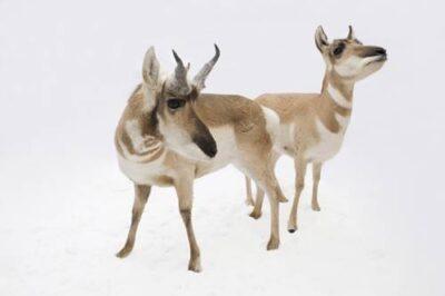 Pronghorn antelope (Antilocapra americana americana) at the Great Plains Zoo.