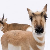 Photo: Pronghorn antelope (Antilocapra americana) at the Great Plains Zoo.