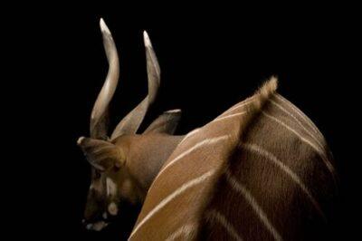 A male eastern bongo (Tragelaphus eurycerus isaaci) at the Great Plains Zoo.