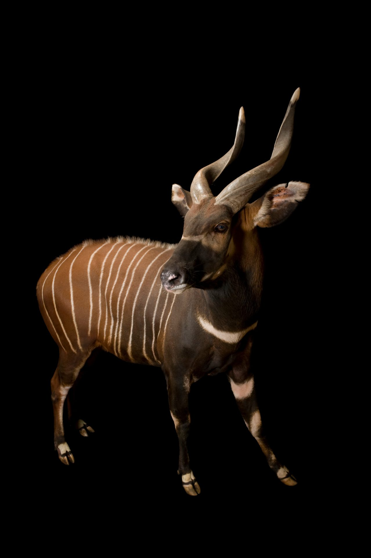 A male eastern bongo (Tragelaphus eurycerus isaaci) at the Great Plains Zoo.