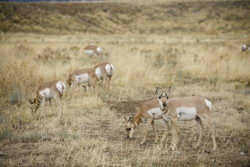 Pronghorn antelope (Antilocapra americana) on federal land near Jackson Hole, Wyoming.