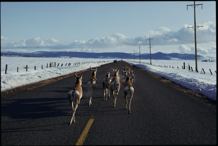 Pronghorn antelope (Antilocapra americana) travel a road in the Modoc Plateau of northern California to avoid heavy snow.