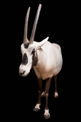 Arabian oryx, Oryx leucoryx, at the Phoenix Zoo. This species is listed as vulnerable.