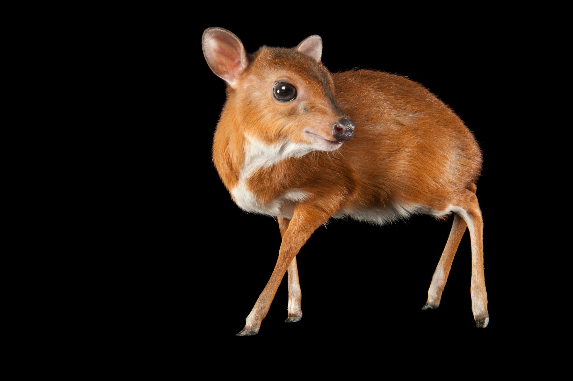 Royal Antelope (Neotragus pygmaeus). This species weighs 9-10 pounds making it the smallest of all antelopes.