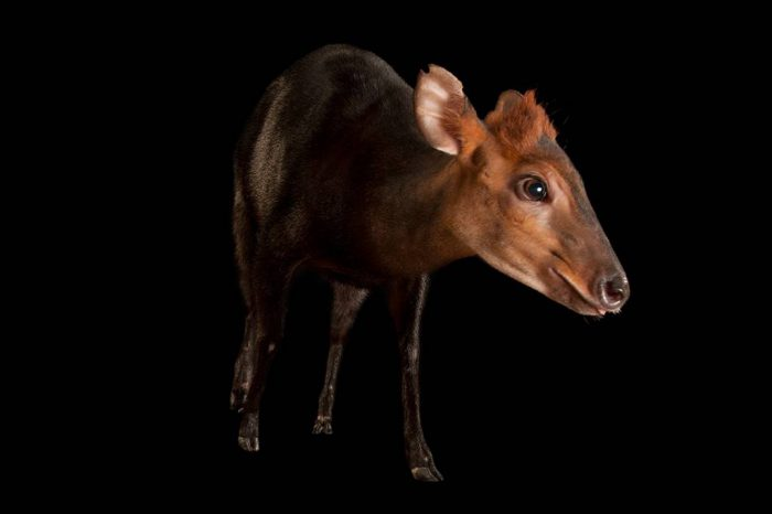 A black duiker (Cephalophus niger) at the Columbus Zoo.