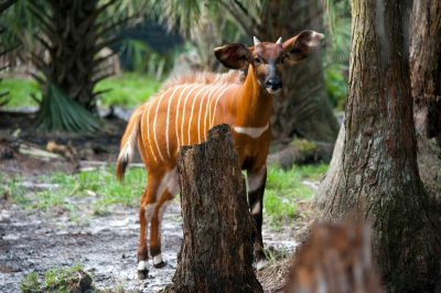 An eastern or mountain bongo, Tragelaphus eurycerus isaaci, at the Rare Species Conservatory Foundation.