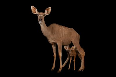 A greater kudu (Tragelaphus strepsiceros) and her calf at the Gladys Porter Zoo in Brownsville, Texas.