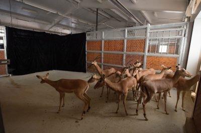 A herd of impala (Aepyceros melampus) that wouldn't go anywhere near a black photo background during a photo shoot.