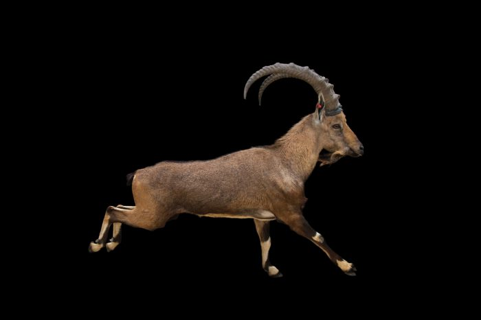 Picture of a vulnerable Nubian ibex (Capra nubiana) at the Dallas Zoo.