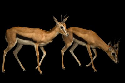 Picture of Thomson's gazelles (Eudorcas thomsonii) at the Columbus Zoo.