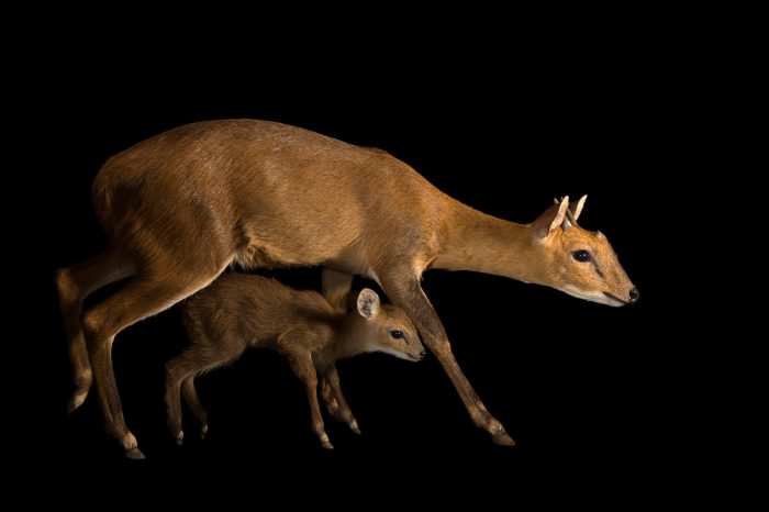 Picture of a vulnerable four-horned antelope and fawn (Tetracerus quadricornis) at the Assam State Zoo and Botanical Garden in India.