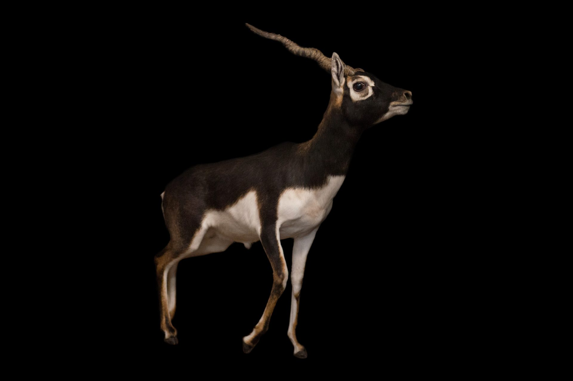 Picture of a blackbuck (Antilope cervicapra) named Siris at the Ellen Trout Zoo.