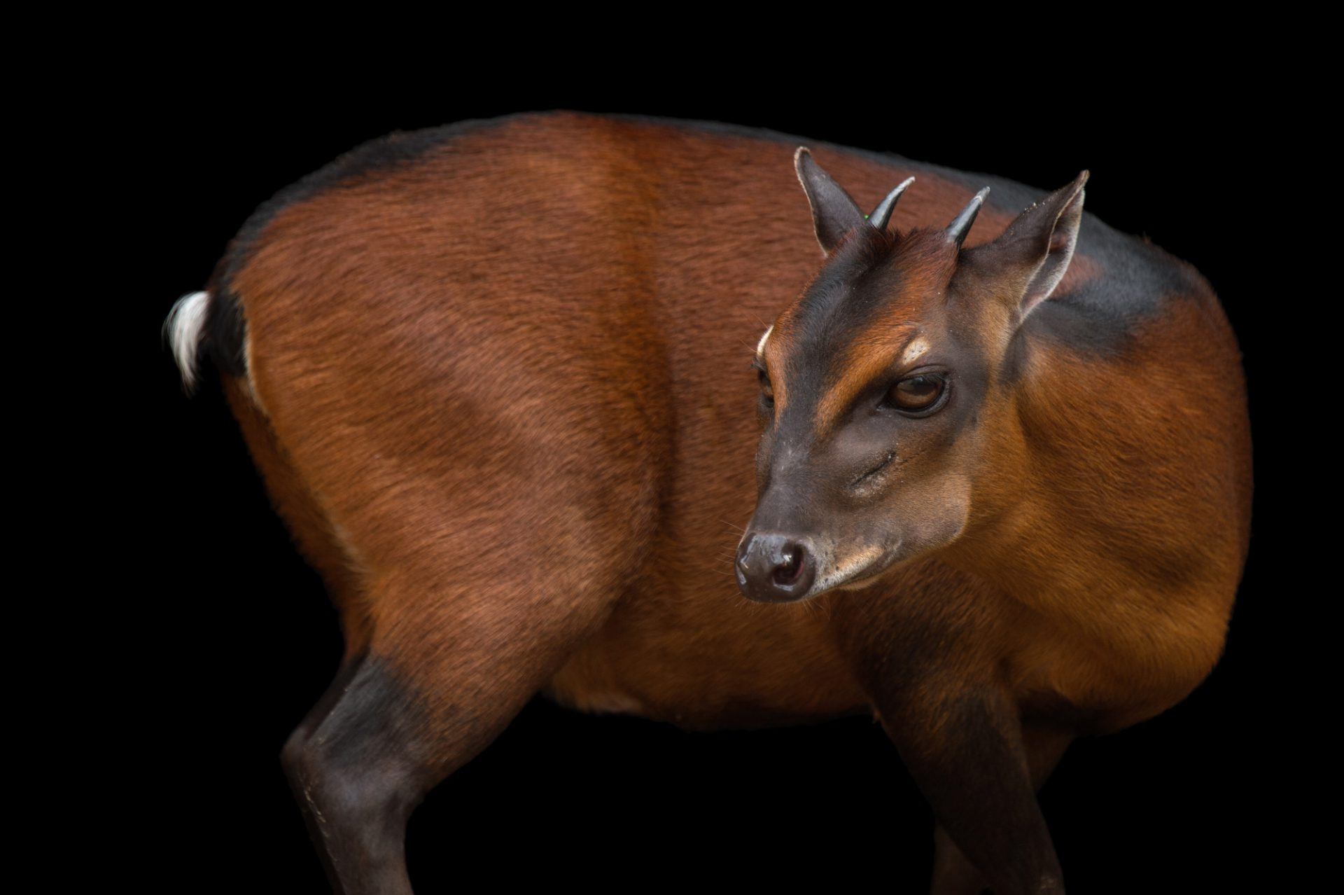 Picture of a bay duiker (Cephalophus dorsalis) named Billy Bob at the Ellen Trout Zoo.