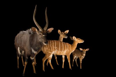 Picture of Nyala (Tragelaphus angasii) named Niles (male), Ginger, Ivy, and Nutmeg at the Houston Zoo.