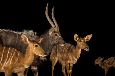 Picture of Nyala (Tragelaphus angasii) named Niles (male), Ginger, Ivy, and Nutmeg at the Houston Zoo.