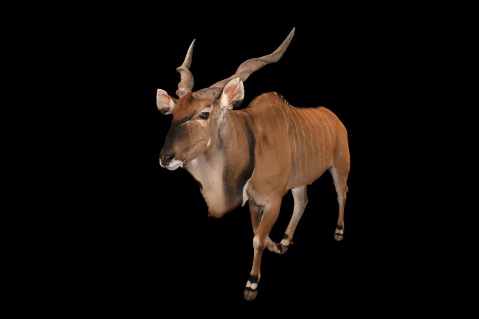 An Eastern giant eland (Taurotragus derbianus gigas) at the Houston Zoo.