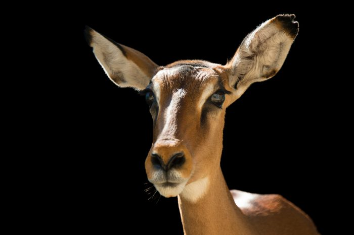 Picture of a female Impala (Aepyceros melampus) at the Brevard Zoo.