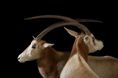 Picture of a Scimitar-horned oryx (Oryx dammah) at Rolling Hills Zoo.