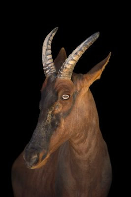 Photo: A Serengeti topi (Damaliscus jimela), formerly known as Damaliscus lunatus jimela, at the San Antonio Zoo.