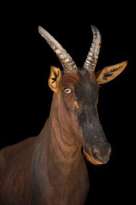 Photo: A Serengeti topi (Damaliscus jimela), formerly known as Damaliscus lunatus jimela, at the San Antonio Zoo.