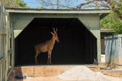 Photo: The set up for a photo shoot of a female Lelwel hartebeest (Alcelaphus buselaphus lelwel) at the San Antonio Zoo.