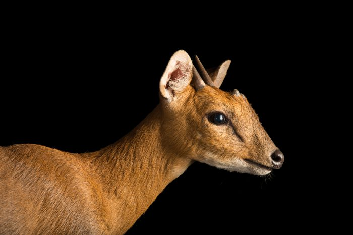 Picture of a vulnerable four-horned antelope (Tetracerus quadricornis) at the Assam State Zoo.