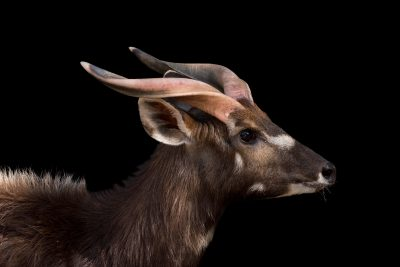 Photo: Sitatunga (Tragelaphus spekii) at the Madrid Zoo.