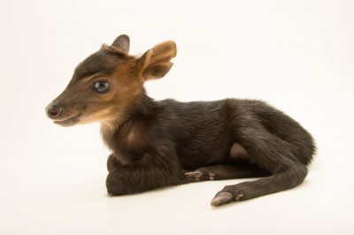 A two-day old black duiker (Cephalophus niger) at the LA Zoo.