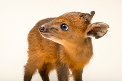 Photo: A juvenile red-flanked duiker (Cephalophus rufilatus) at the LA Zoo.