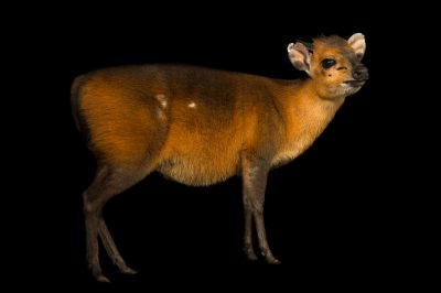 Photo: Red-flanked duiker (Cephalophus rufilatus) at the Kansas City Zoo.