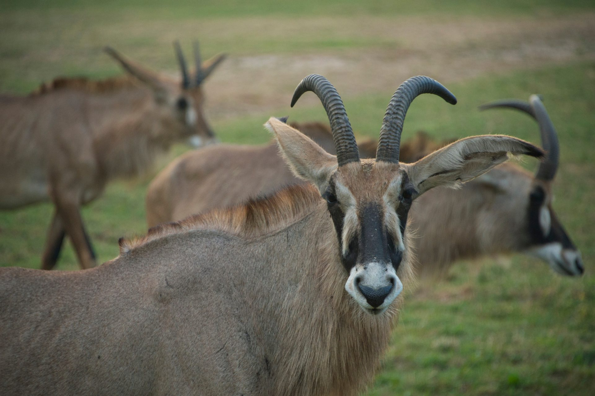 Photo: Roan antelope (Hippotragus equinus) at the Dvur Kralove Zoo.