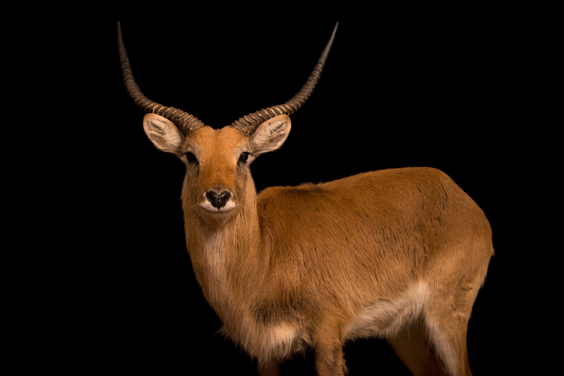 Photo: A male Kafue lechwe (Kobus kaufensis) at Parco Natura Viva in Bussolengo, Italy.