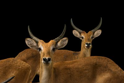 Photo: Red lechwe (Kobus leche) at Zoo Negara.