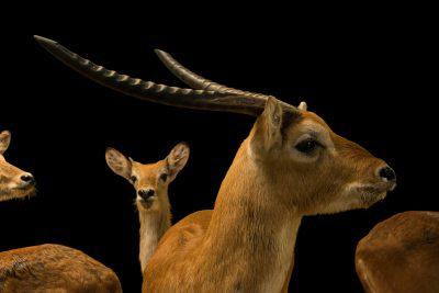 Photo: Kafue Flats lechwe (Kobus kafuensis) and red lechwe (Kobus leche) at Zoo Negara.
