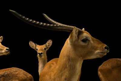 Photo: Kafue Flats lechwe (Kobus kafuensis) and red lechwe (Kobus leche) at Zoo Negara.