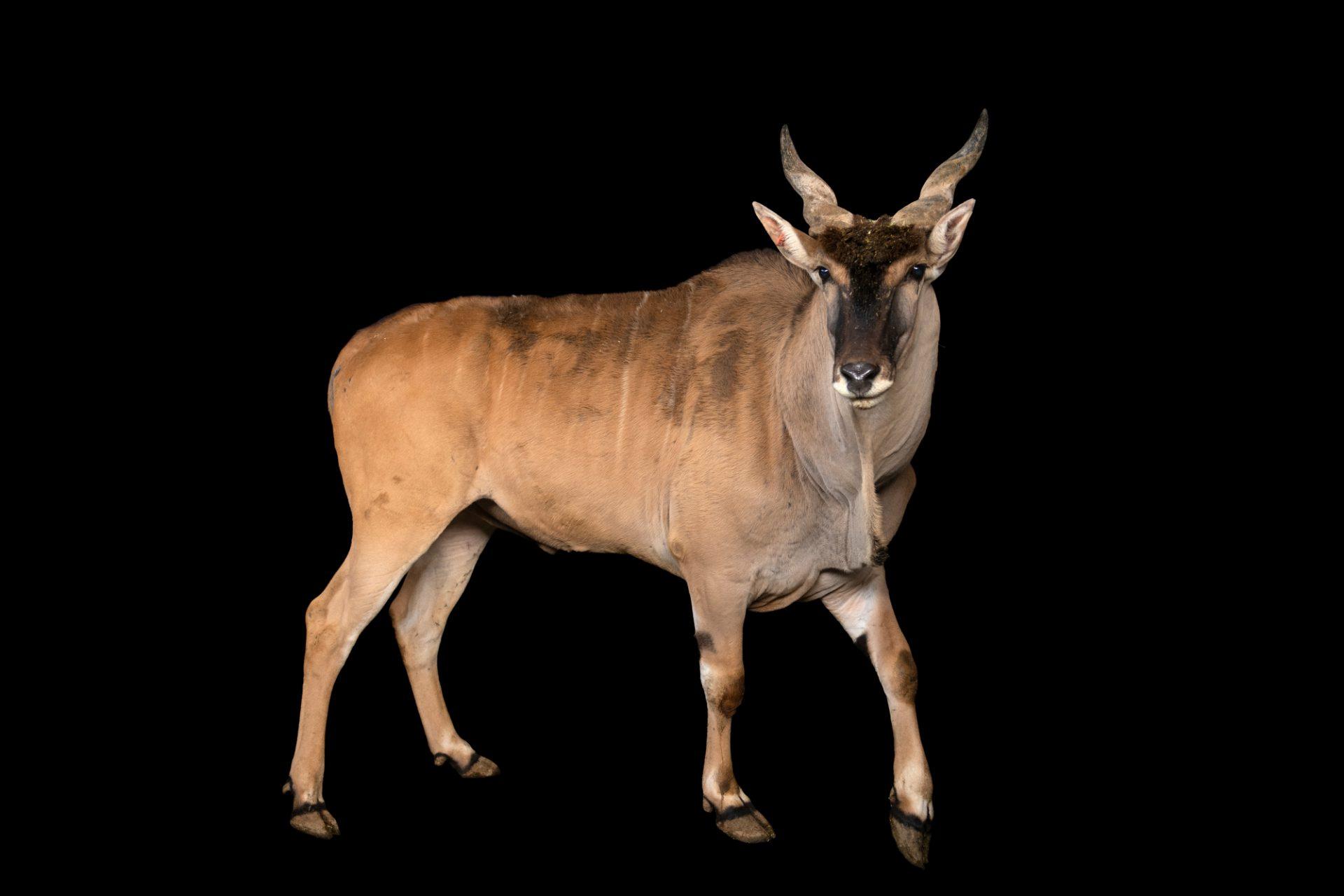 Photo: A male Cape eland (Taurotragus oryx oryx) at the Lisbon Zoo