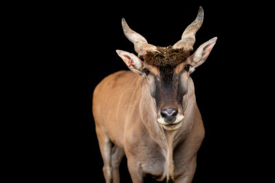 Photo: A male Cape eland (Taurotragus oryx oryx) at the Lisbon Zoo