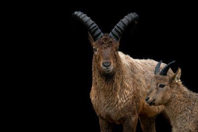 Photo: Endangered West Caucasian turs (Capra caucasica caucasica) at the Toronto Zoo.