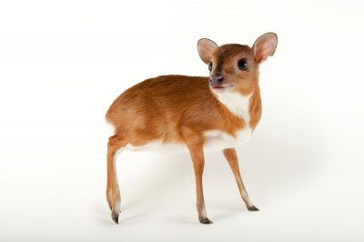 Photo: A royal antelope (Neotragus pygmaeus) at the LA Zoo.