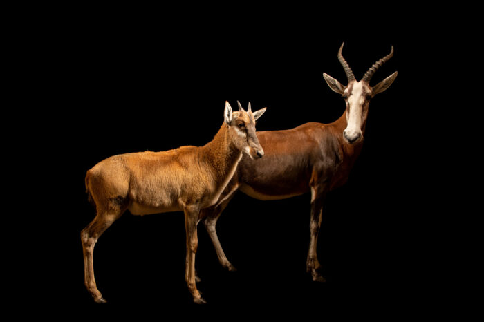 Photo: Two blesboks (Damaliscus pygargus phillipsi) at the Berlin Zoo.