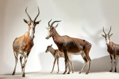 Photo: Blesbok (Damaliscus pygargus phillipsi) at Plzen Zoo in the Czech Republic.