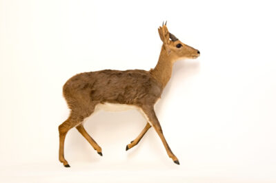 Photo: An endangered mountain reedbuck (Redunca fulvorufula) at Plzen Zoo in the Czech Republic.