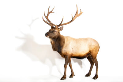 Photo: A male Tule elk (Cervus canadensis nannodes) at Plzen Zoo in the Czech Republic.