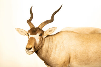 Photo: A critically endangered addax (Addax nasomaculatus) at the Denver Zoo.
