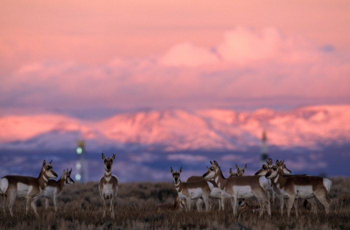 Photo: A herd of pronghorns graze near gas drilling rigs sunset near Pinedale, Wyoming.