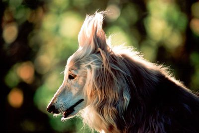 "Photo: Voted ""Dumbest Breed"" by the American Kennel Club several years running, Joan typifies the Afghan Hound's intelligence."