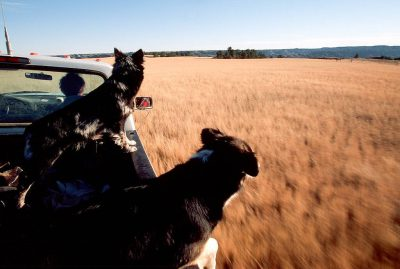 Photo: Cattle dogs get excited as they head out to round up a herdon the Charles M. Russell National Wildlife Refuge in Montana.