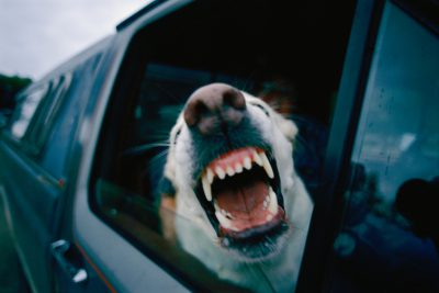 Photo: A dog riding shotgun in a pickup snarls at the photographer.